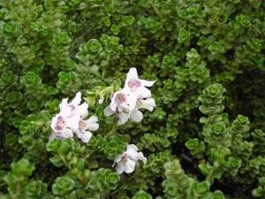 depressione e fiori australiani