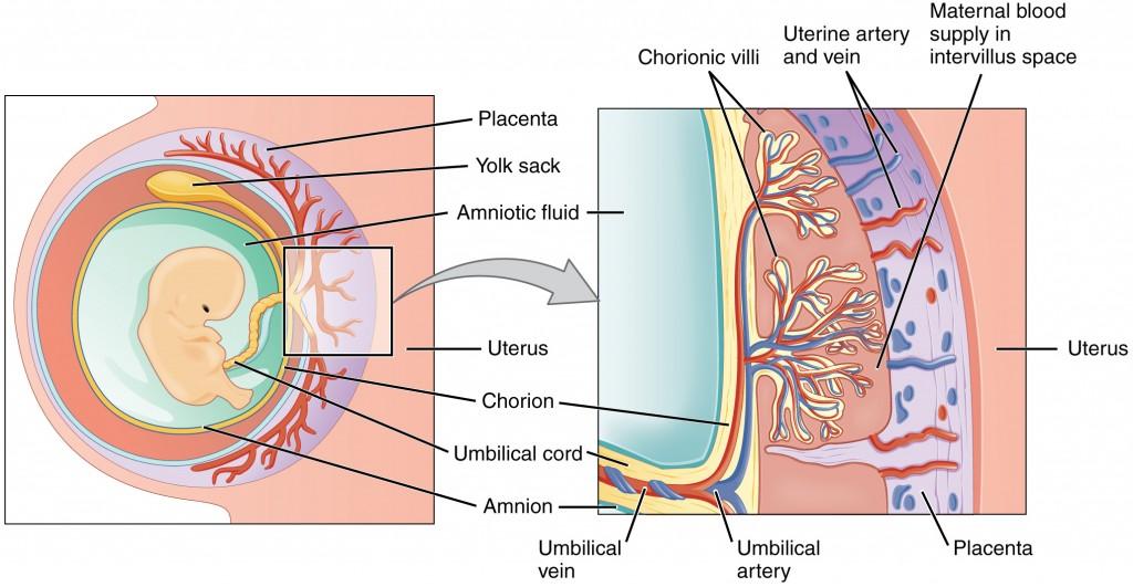 placenta e cordone ombelicale