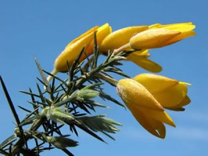 Gorse fiori di bach