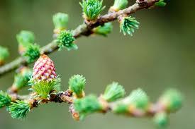 Larch fiori di bach