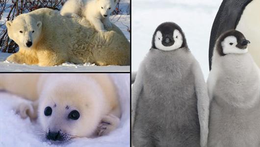 foca pinguino orso wwf
